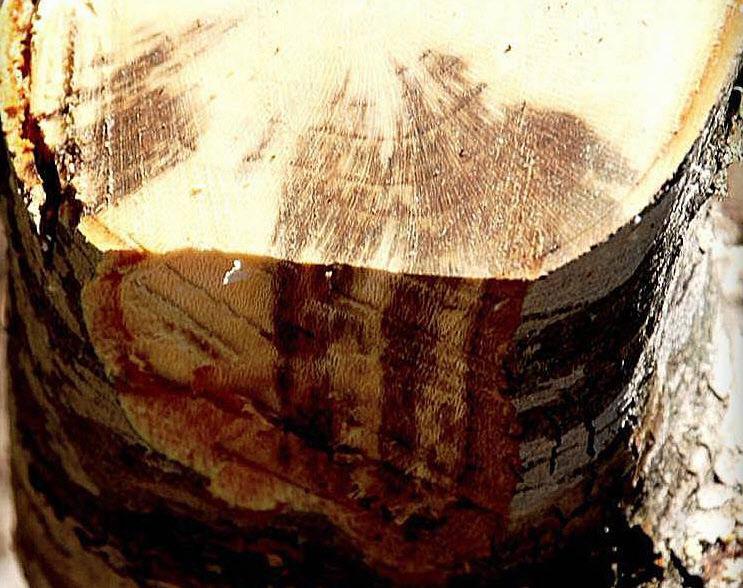 Μύκητας του Μεταχρωματικού Έλκους