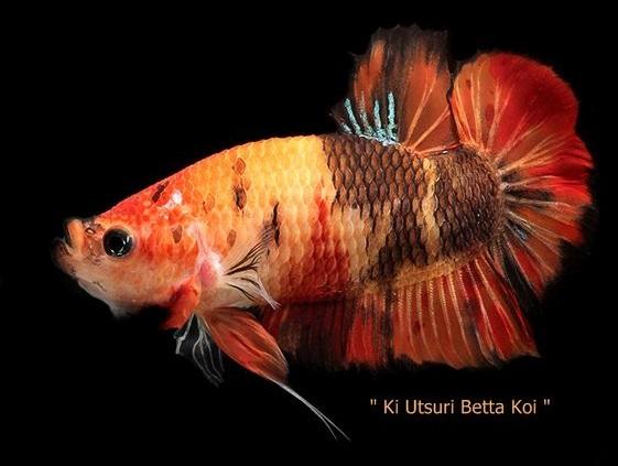 Ikan Cupang Koi - Ikanhiasku.net