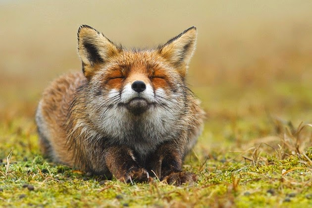 striking and heartwarming photos of foxes