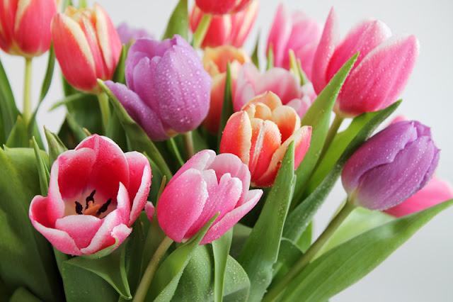 زهرة التوليب Tulip