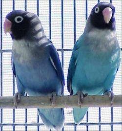 Lovebird biru - photo#49