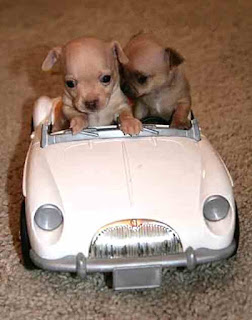 Dogs drive car