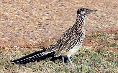 road runner bird