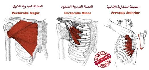 تشريح عضلة الصدر و كيفية إستهداف أجزائها
