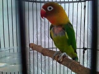 Penyebab Lovebird Mencabuti Bulu Dan Cara Merawat Menumbuhkan Bulu Lovebird