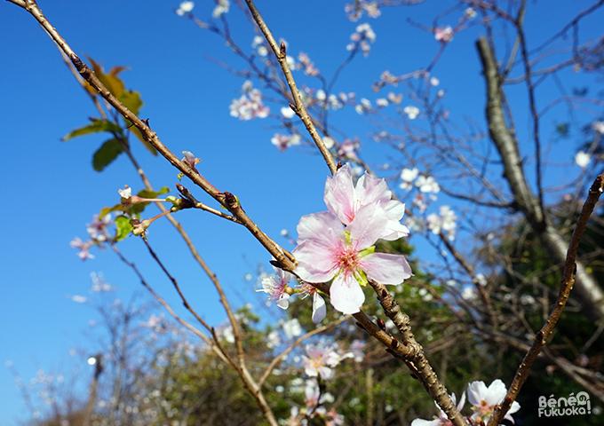 Sakura d'automne, island City, Fukuoka