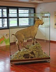 Celia, disecada en el Museo Bucardo Torla