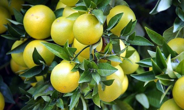 Toranja (Citrus paradisi Macfad.)