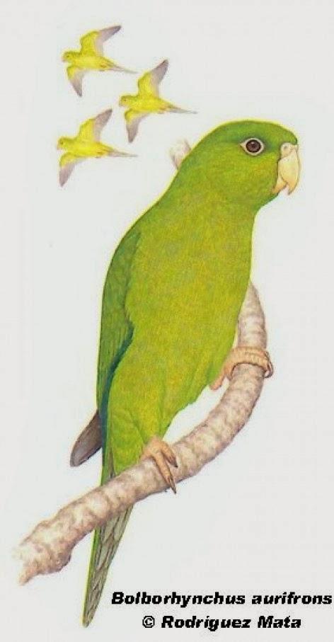 Catita serrana chica: Psilopsiagon aurifrons