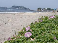 七里ヶ浜のハマヒルガオ