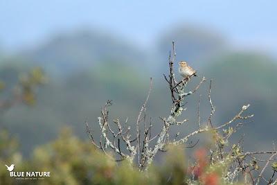 Alondra totovía (Lullua arborea) sobre una encina sin hojas. Se trata de una especie de la familia de los aláudidos (cogujadas y alondras) unas aves normalmente asociadas a los cultivos y las campiñas. Como su nombre en latín indica, esta especie es mas arbórea que sus otros parientes.