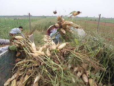 Nông sản đổ đồng là 'theo quy luật'?