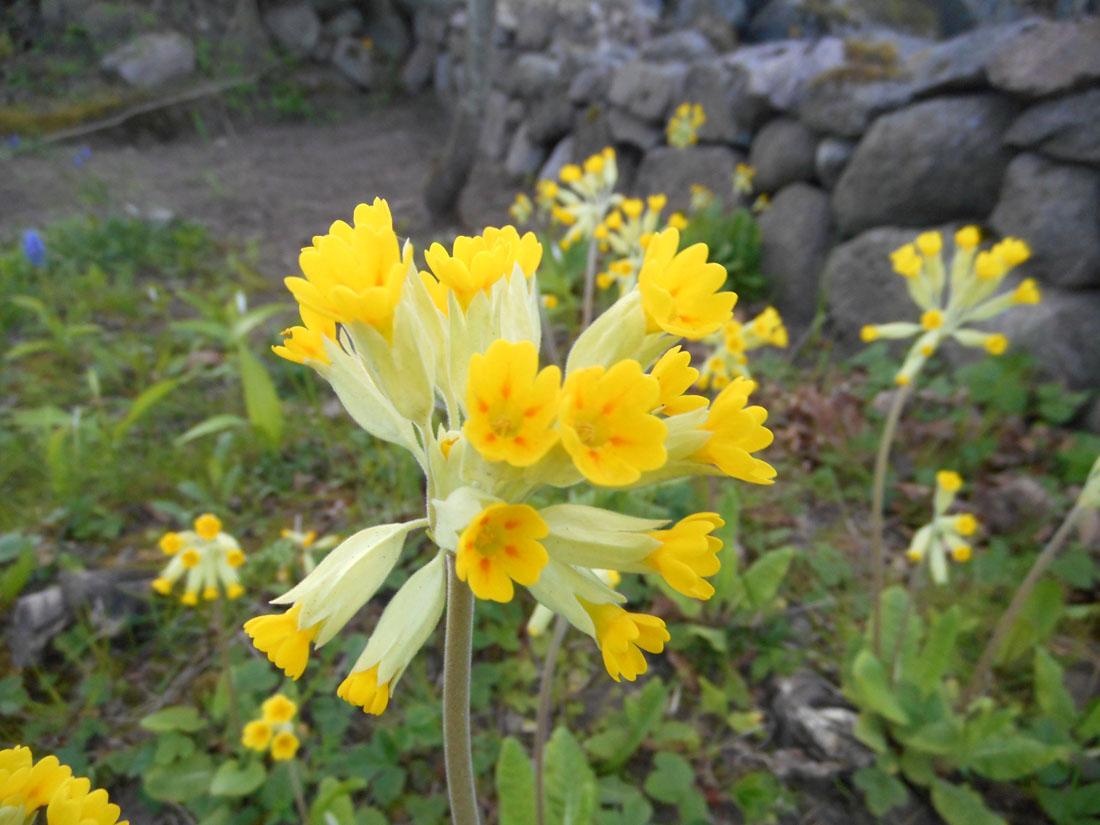 Primule selvatiche nel mio giardino
