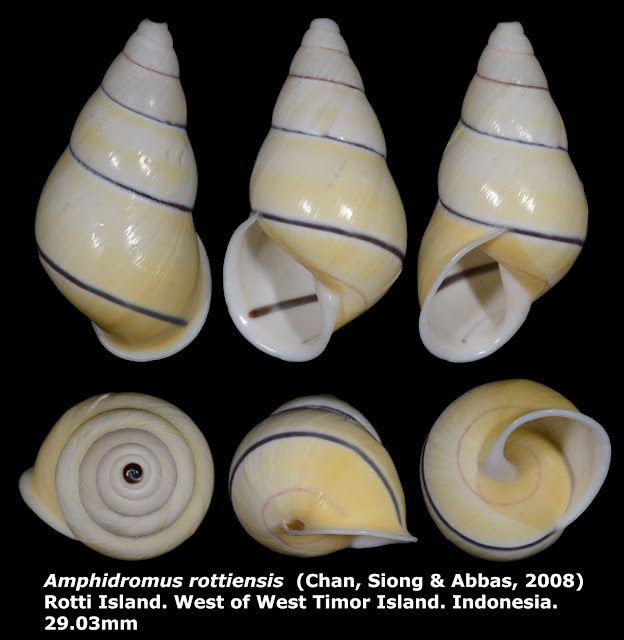 Amphidromus rottiensis 29.03mm