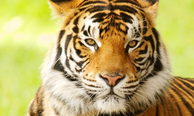 Limited gene flow between two Bengal tiger populations in the western Himalayan foothills