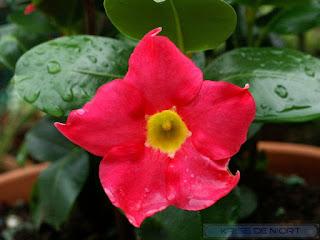 Jasmin du Brésil - Mandevilla sanderi - Dipladenia sanderi