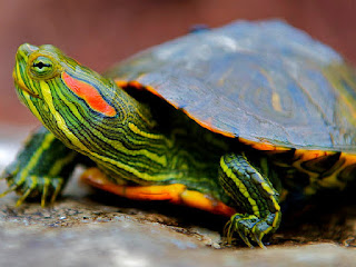 makanan-kura-kura-brazil.jpg