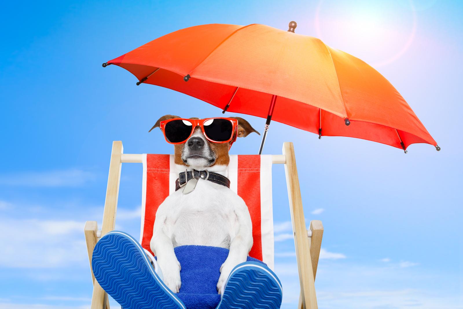Jack Russell Terrier Cute Puppies Wallpaper Dog Sunbathing On A Deck Chair Khoirulpage