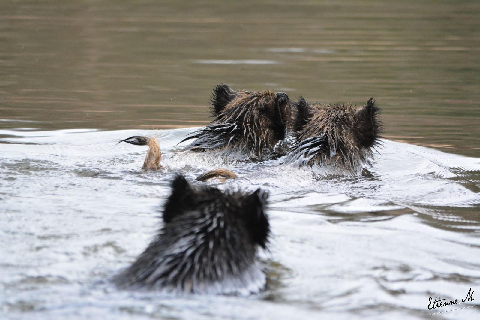 Sanglier sur un lac gelé ! Famille