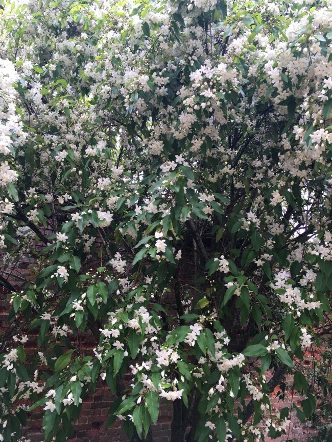 white-flowers-covering-shrub
