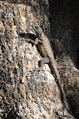 lagartos de argentina