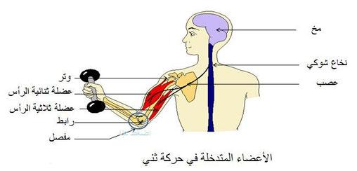 الجهاز العصبي والتشنج
