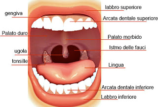 anatomia della bocca