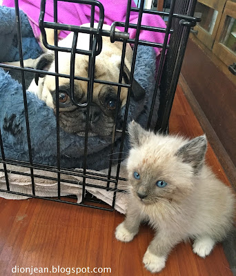 Liam the pug and Patrick the foster kitten