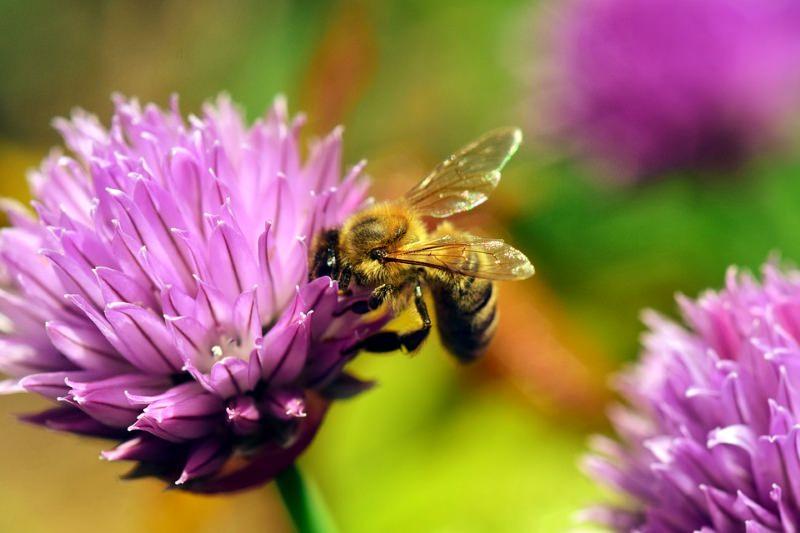 Abelha recolhe néctar numa flor