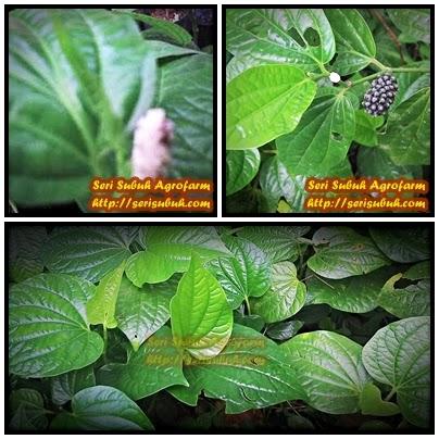 Kaduk (Piper sarmentosum) | Jualan Benih dan Koleksi Artikel Anak Pokok Herba