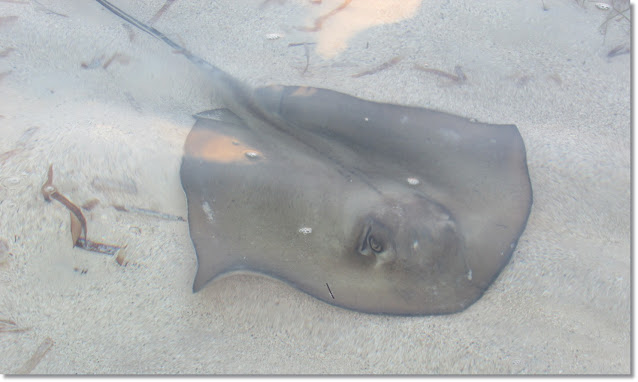 a stingray hovers in cleat shallow water.