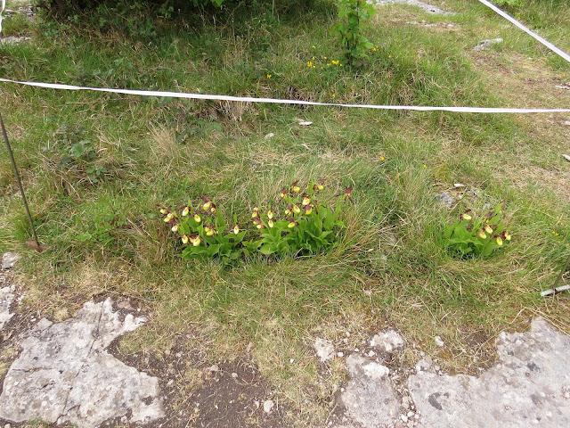 Lady's Slippers - Gait Barrows, Cumbria