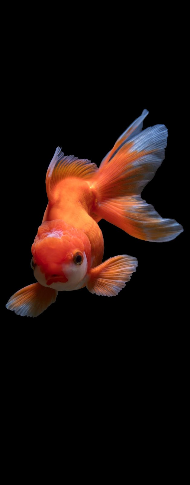 Photo of a goldfish.