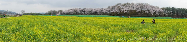 慶州瞻星台油菜花田