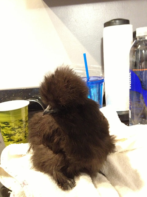 black silkie chick