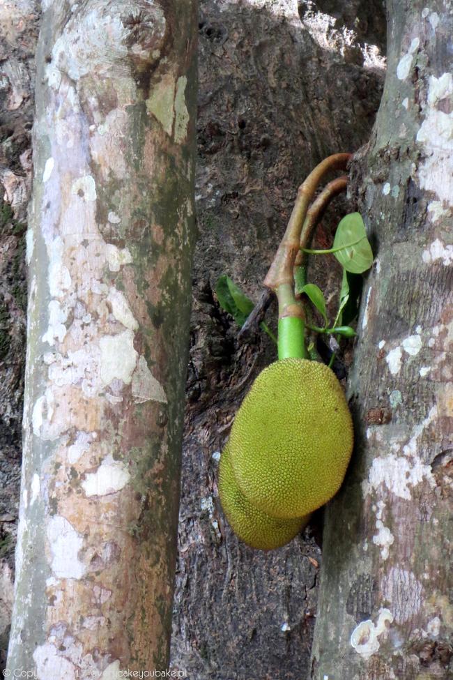 jackfrui, dżakfrut, egzotyczny owoc Sri Lanki