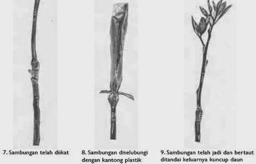 ilustrasi stek batang pucuk