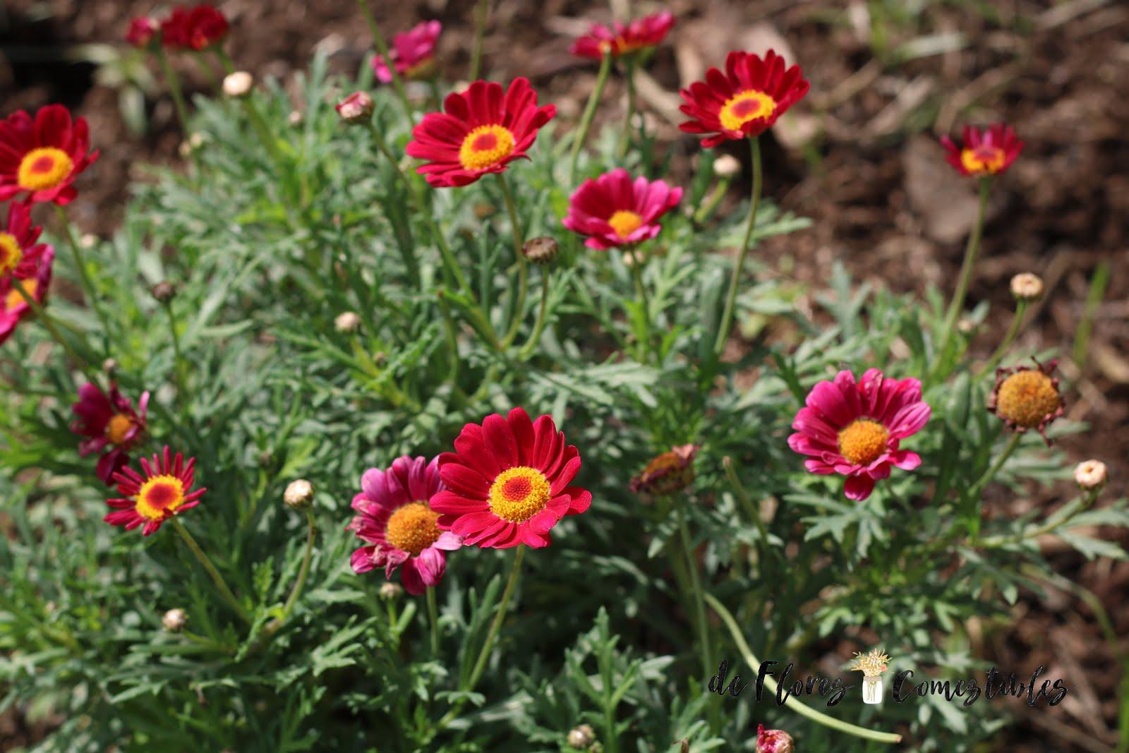 Margarita flor comestible