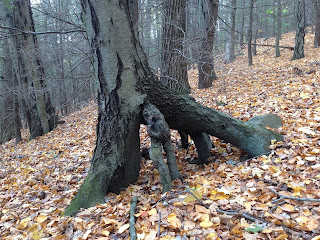 Black Birch Tree Roots on Tiptoes