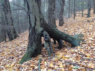Black Birch Tree Roots on Tiptoes