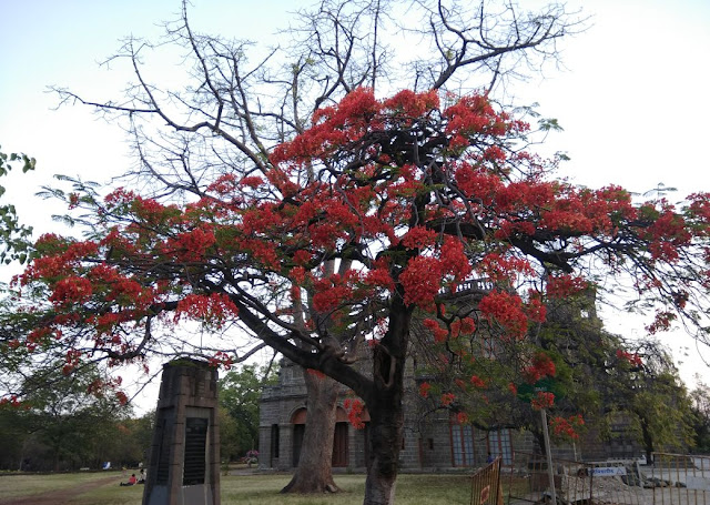 Delonix regia, Mayflower, Gulmohor
