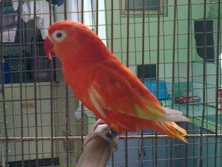 lovebird nyilet, lovebird kurus