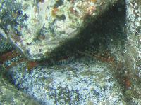 Dornenseestern © Canarian Sea
