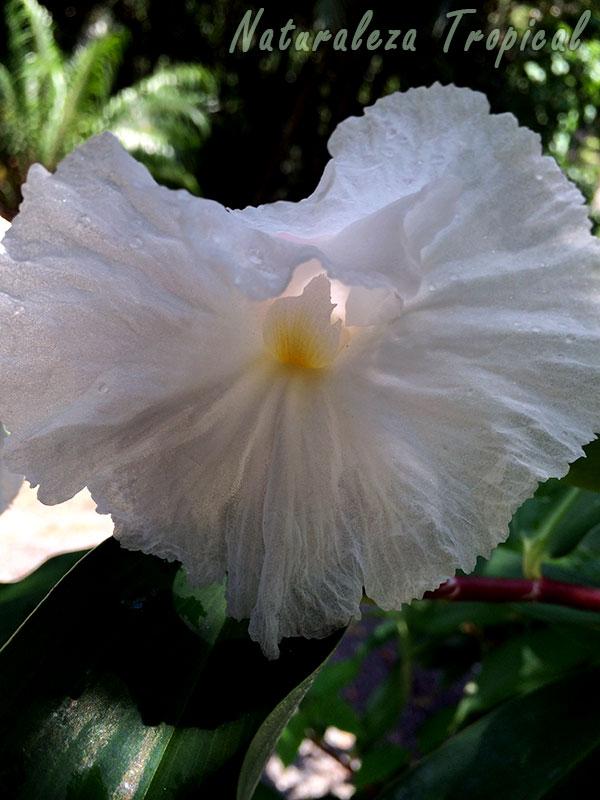 Flor de la planta Sombrero de Dama vista más de cerca, Cheilocostus speciosus