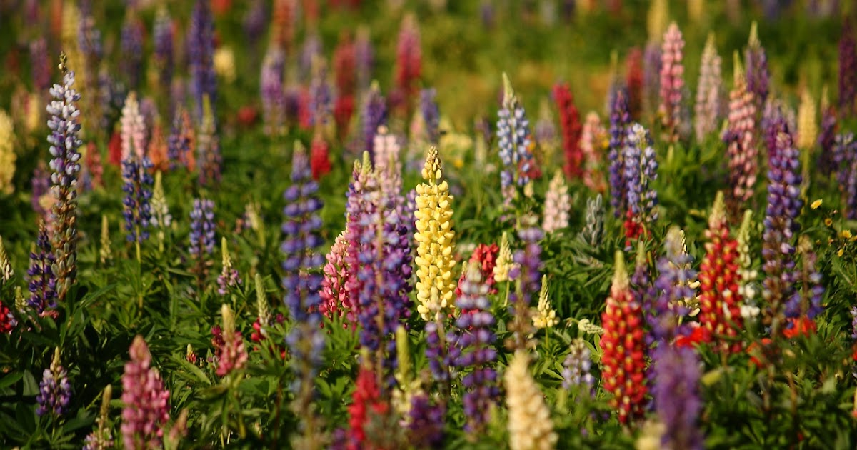 Just A Little Peanut: Lupine Allergy. A Danger for the ...