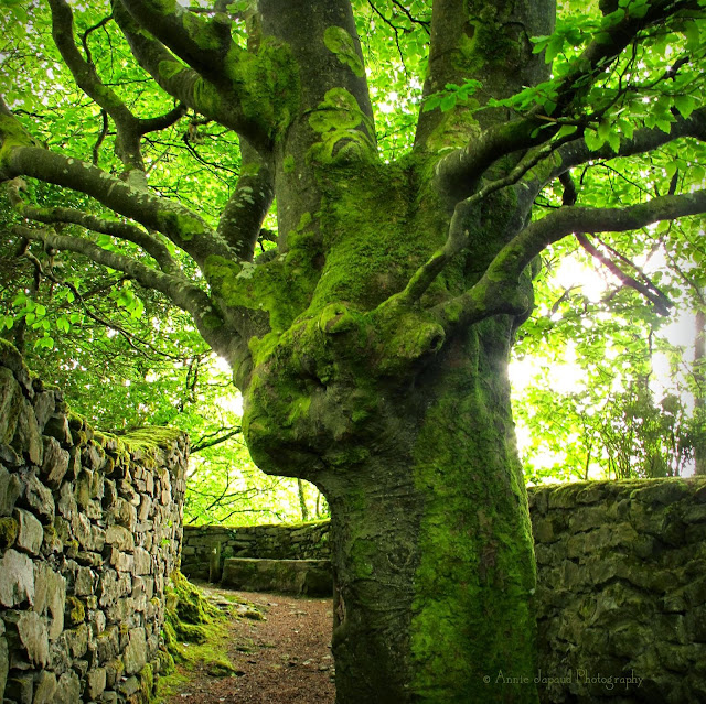 an amazing giant tree in the middle of the path between the stone walls on The Waterfall Walk