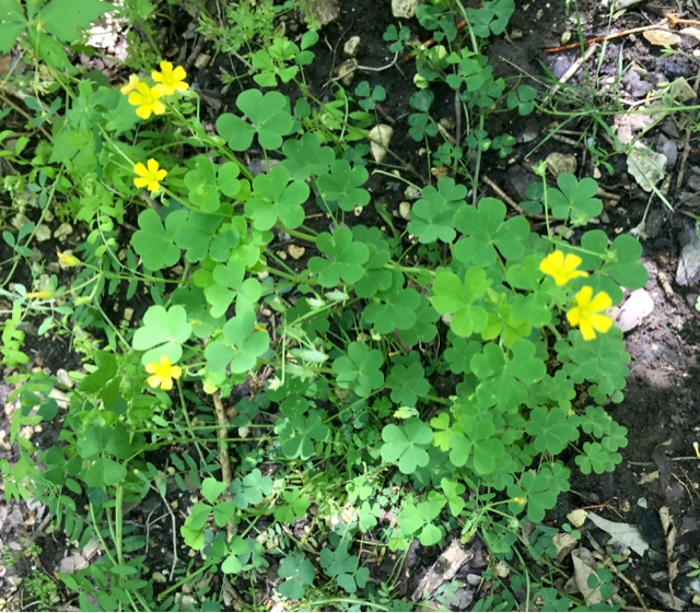 Identifying And Foraging Common Wood Sorrel A Edible Weed Often Mistaken For Clover Or Shamrock Perfect Beginners
