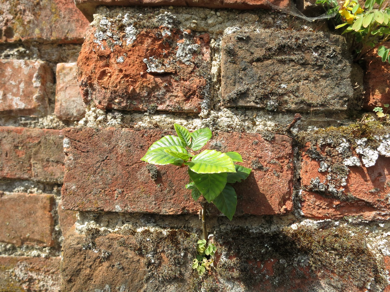 Plant grows from between bricks in old wall