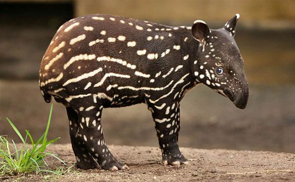 Baby Animals: Baby Tapir