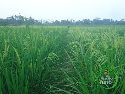 FOTO 4 : Sebelah kiri tanaman Padi TRISAKTI 45 HST.